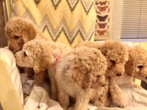 Goldendoodle Puppies Seattle
