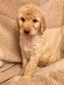 Goldendoodle Puppy Seattle